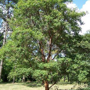 Acer griseum, Paperbark