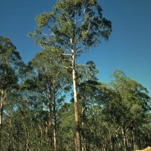 Eucalyptus deleg.