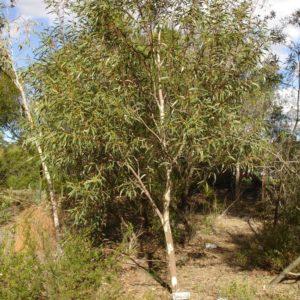 Eucalyptus_gregsoniana