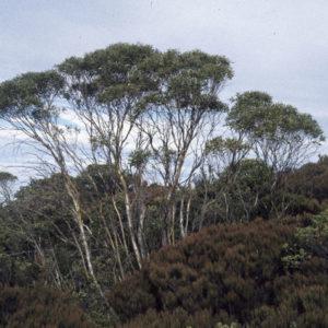 Eucalyptus_kybeanensis