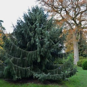 Brewers Weeping Spruce