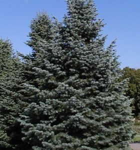 Colorado White Fir