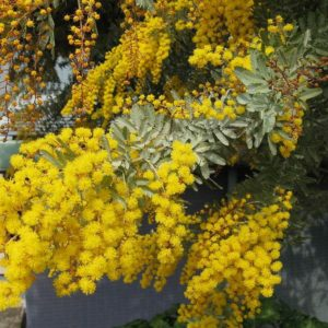 golden mimosa