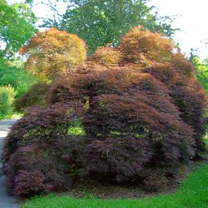 Japanese Maple, purple leaved, dissect