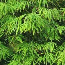Japanese Maple var. dissectum