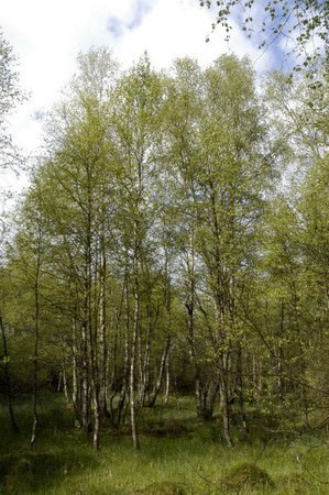 White/Downy Birch