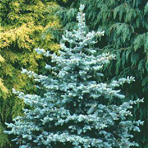 Christmas Tree Seed