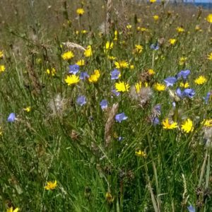 harebell and hawkbit
