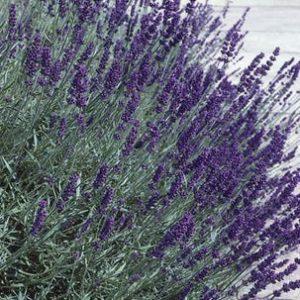 lavenderhidcote