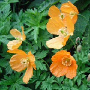 orange welsh poppy