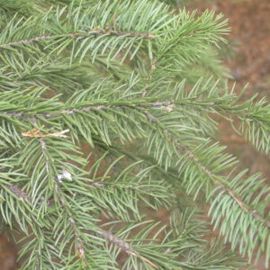 Meyer's Spruce