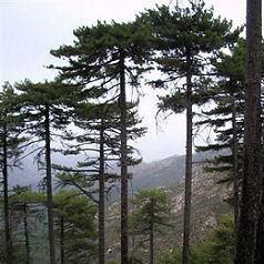 Corsican Pine