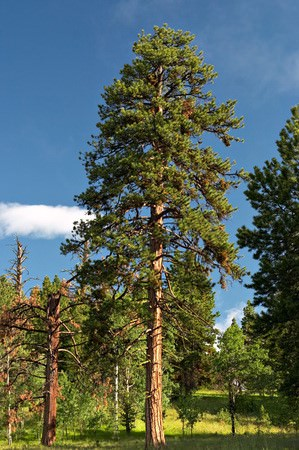 Western Yellow Pine