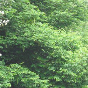 Caucasian Wingnut in early summer