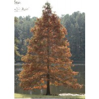 Swamp Cypress autumn