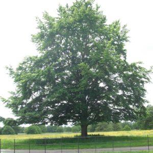 Broadleaf Trees and Shrubs