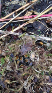carder bee nest